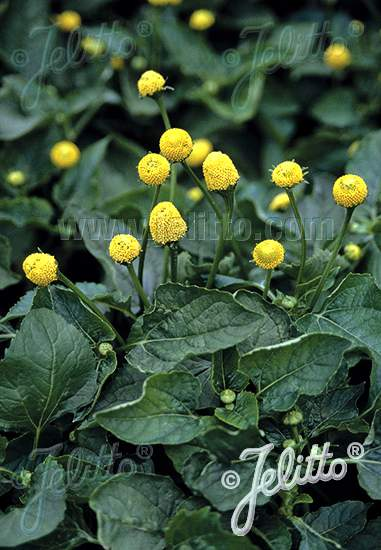 acmella  Acmella oleracea: Specialty Perennials - Flower Seeds