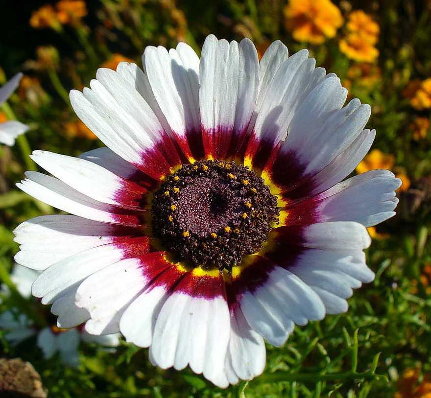 100 Chrysanthemum Seeds Carinatum Polar Star Flower Seeds