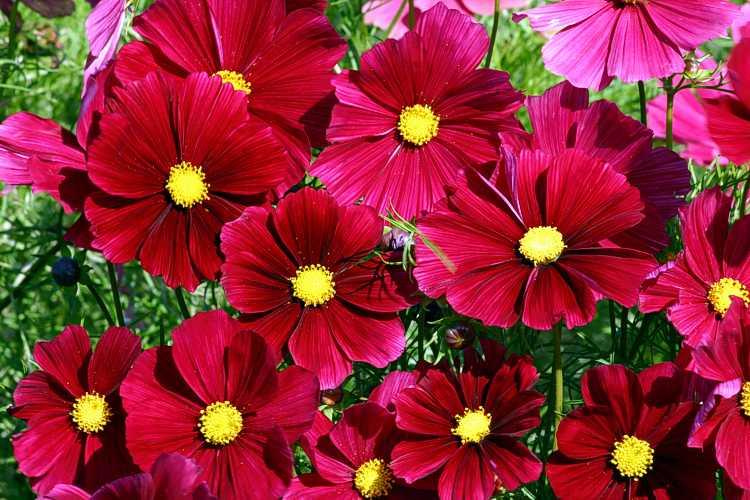 Cosmos bipinnatus rubenza specialty perennials flower seeds cosmos bipinnatus rubenza mightylinksfo
