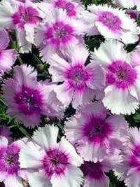 Specialty Perennials
