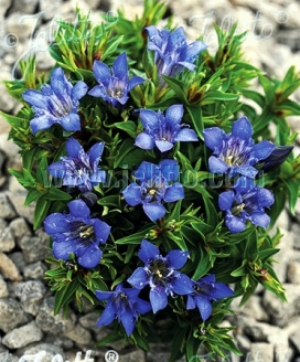 Specialty Perennials Flower Seeds Species Starting With G