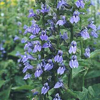 Lobelia Siphilitica Blue Selection Specialty Perennials Flower