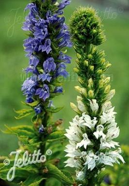 Specialty Perennials Flower Seeds Lobelia