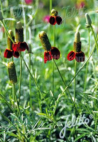 ratibida-columnifera-red-midget
