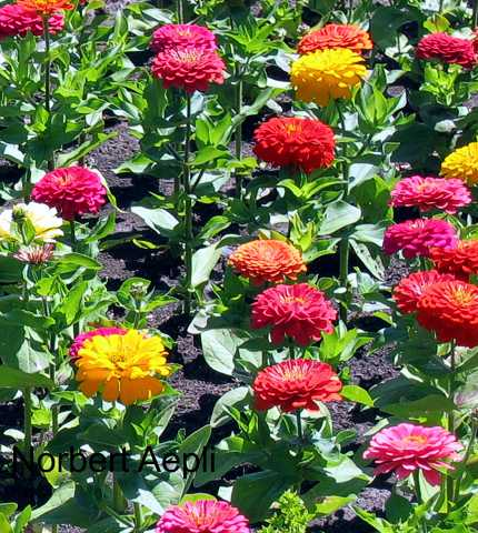 Specialty perennials flower seeds seeds z zinnia cut and come again mightylinksfo